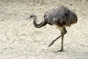 Nandou marchant sur du sable