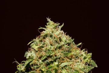 Hanf, Cannabis