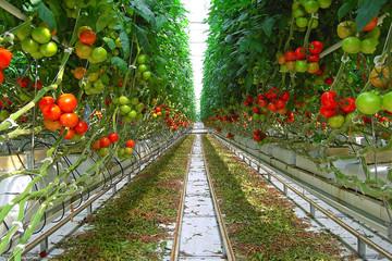 Fototapeta serre de tomates obraz