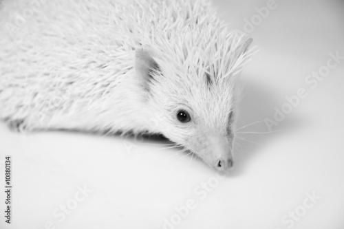 albino igel stockfotos und lizenzfreie bilder auf bild 10880134. Black Bedroom Furniture Sets. Home Design Ideas