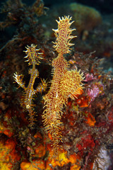 Ornate Ghost pipefish (solenostomus paradoxis)