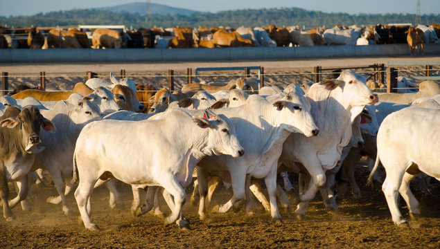 Brahaman cattle in a feedlot