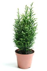 Bush of juniper.