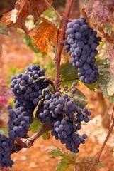 Blue grapes at a vineyard