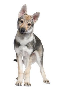 Czechoslovakian Wolfdog puppy (3 months)