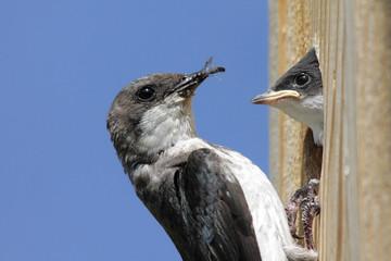 Fotoväggar - Mother Tree Swallow Feeding Baby