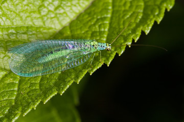 Lacewings sitting