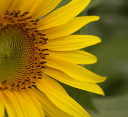Yellow sunflower on green