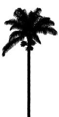 silhouette de palmier royal sur fond blanc