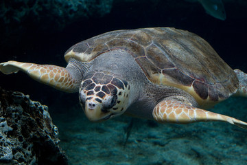 Loggerhead sea turtle gliding through the water