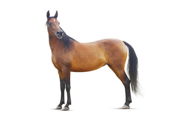 Wall Mural - standing bay arabian horse isolated.
