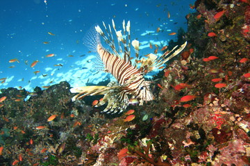 Lionfish and Fairy Basslets on a coral reef