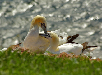 Helgoland - german island birds seevogel