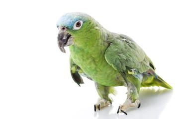 Blue-naped Amazon Parrot