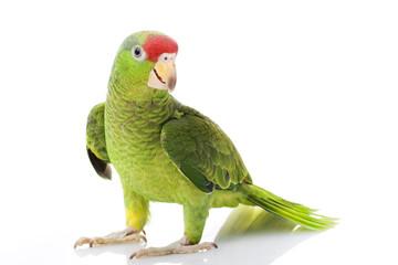 Photo sur Plexiglas Perroquets Mexican Red-headed Amazon Parrot