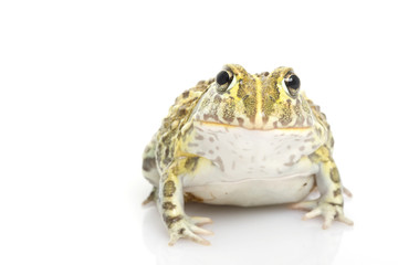 African Bullfrog/Pixie Frog