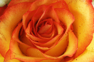 Spoed Fotobehang Macro roses