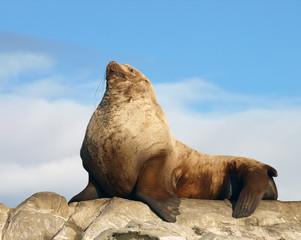 Proud Male Wild Steller Sea Lion