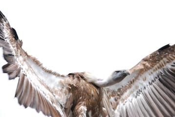 vautour en vol