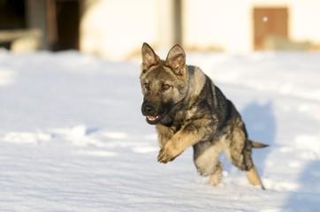 Cucciolo Cane Pastore Tedesco Grigione gioca nella neve