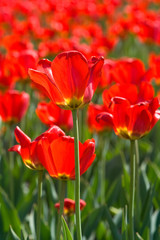close up of four red tulips with a field of tulips at the back