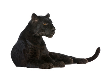 Wall Murals Panther Black Leopard (6 years)
