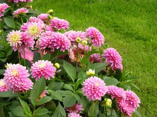 Rosa blühende Balldahlie im Garten