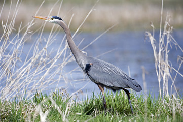 Great blue heron on the river bank