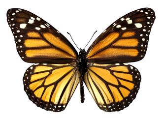Détourage papillon monarque