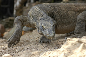Komodo dragon(Indonesia)
