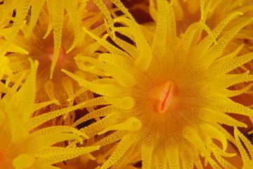 Striking Sunflower Coral
