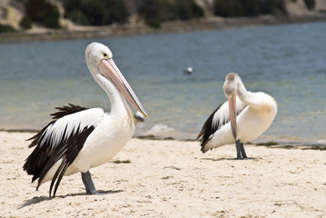 Pelicans on the beach