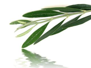 des gouttes d'eau sur un rameau d'olivier