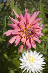 fleur : dahlia
