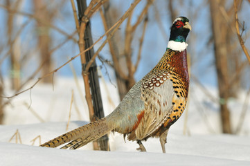 Fagiano - Pheasant
