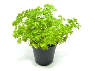 Fresh parsley on a pot