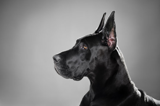 Noble Profile of A Great Dane
