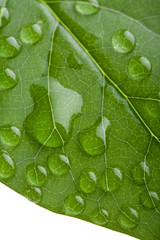 fresh leaf with water droplets isolated