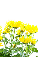 Yellow chrysanthemums. Isolation on the white