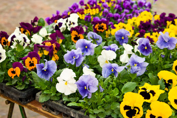 Stiefmütterchen, pansies
