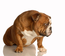 english bulldog sitting with sad expression on her face