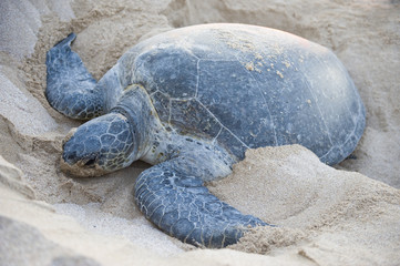 Endangered Green Back turtle
