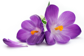 Photo sur Plexiglas Crocus Crocus