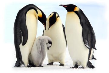 Antarctique, manchots empereurs