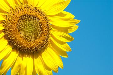 A lovely sunflower