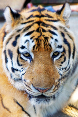 close up of tiger head