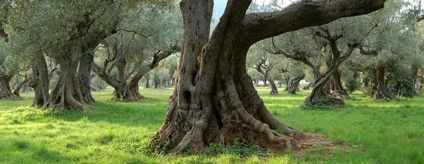 Photo sur Toile Oliviers oliviers centenaires