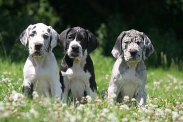 Trois chiots Dogues à la campagne
