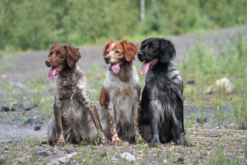 Trois Epagneuls Bretons assis côte à côte