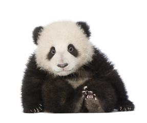 Zelfklevend Fotobehang Panda Giant Panda (6 months) - Ailuropoda melanoleuca